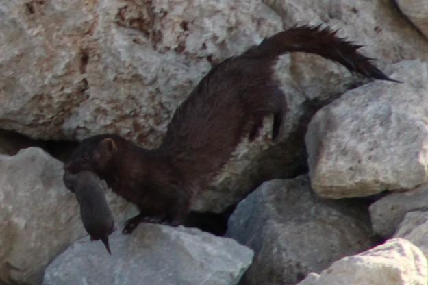 baby mink 1