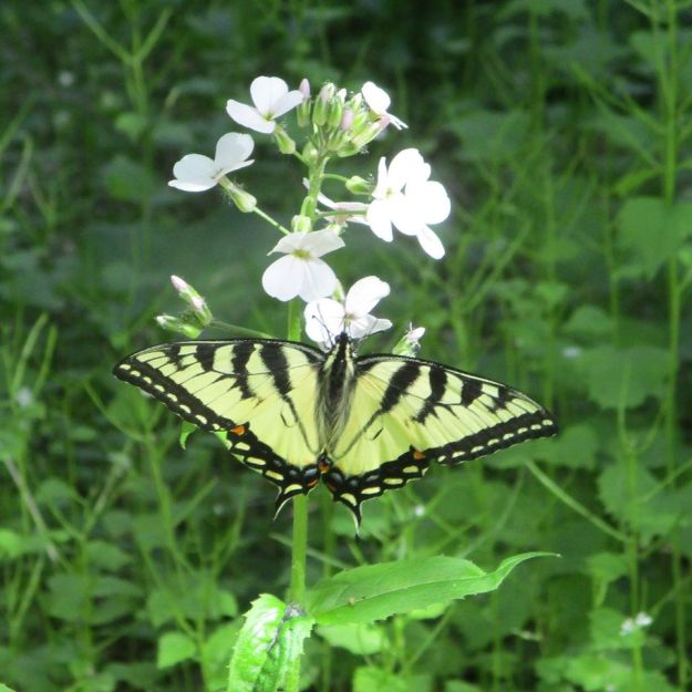 EasternTiger Swallowtail